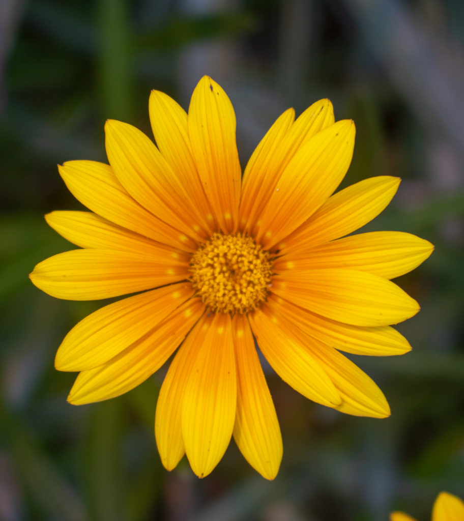 bright yellow flower against a dark green background
