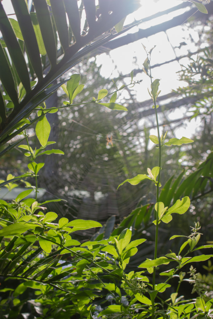 portrait image of dark green foliage, framing a spiders web in the centre, upon which a spider is silhouetted by the sunlight